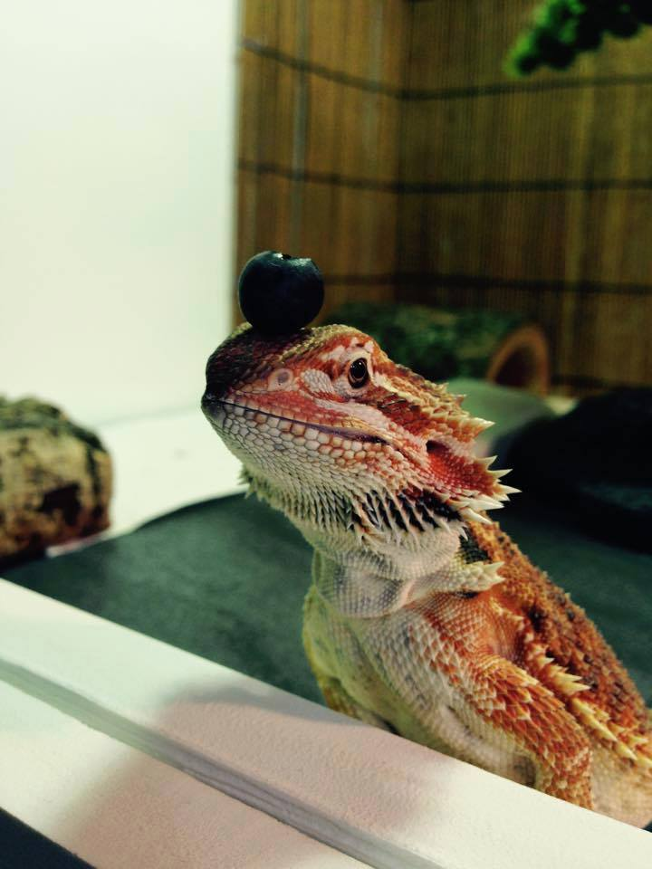 Bearded Dragon Breeders Canada - Red Bearded Dragons for sale