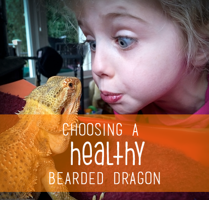 How to Choose Your First Bearded Dragon - Bearded Dragon